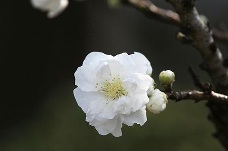 2010.03.31 和泉川 ハナモモ