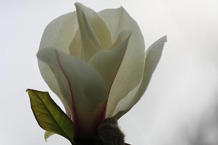 2010.04.04 和泉川 コブシ