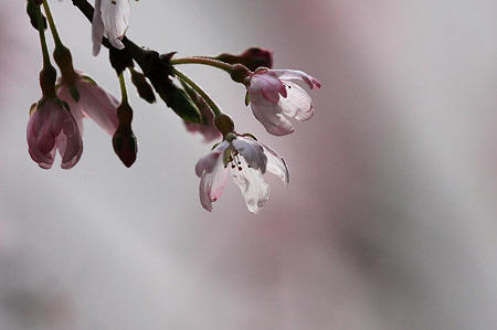 2010.04.04 和泉川 枝垂桜