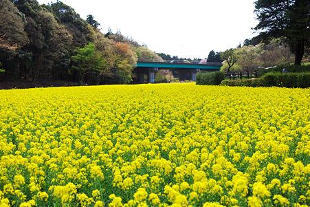 2010.04.10 追分市民の森 菜の花絨毯