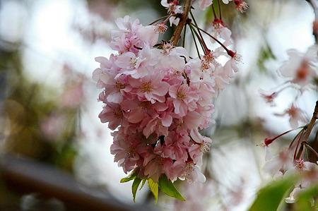 2010.04.19 横浜公園 チューリップ祭り 八重桜