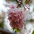 Photos: 2010.04.19 横浜公園 チューリップ祭り 八重桜