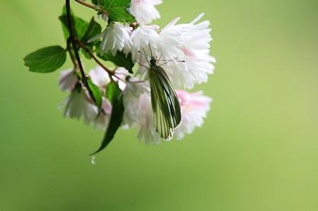 2010.06.13 和泉川 サラサウツギにスジグロシロチョウ