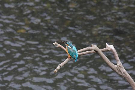 2010.06.16 和泉川 カワセミ