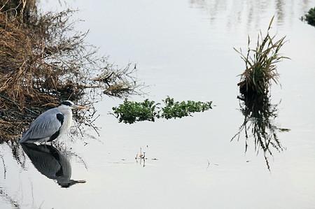 2010.12.21 和泉川 瀬にアオサギ