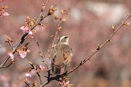 2011.03.05 和泉川 桜にツグミ