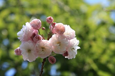 2011.04.20 和泉川 八重桜 緑を背景に