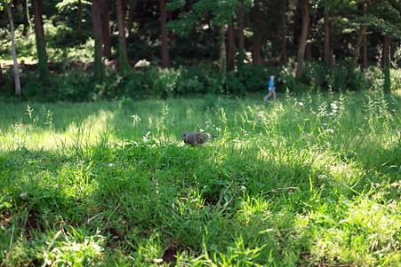 2011.05.19 和泉川 キジバト