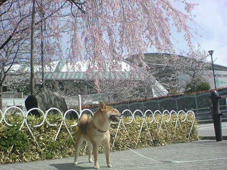枝垂れ桜と文珍
