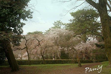 しだれ桜・・24 京都御苑 2010