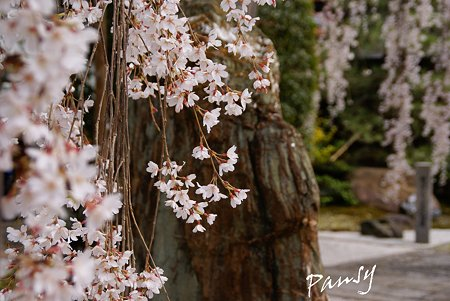 しだれ桜・・本満寺5