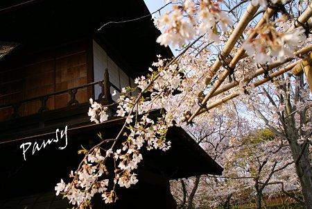 桜と・・傍花閣・・渉成園・・7