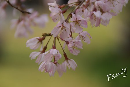 しだれ桜・・