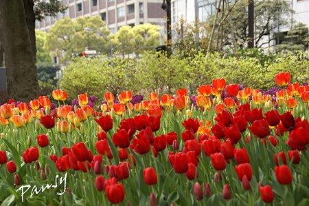横浜公園のチューリップ・・4