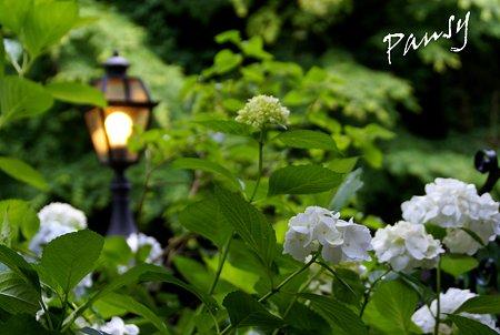 灯りと・・紫陽花・・