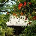 凌霄花の咲く寺院・・3