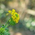 Photos: 菜の花・・・。