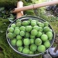 Photos: 梅の実が豊作