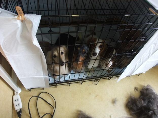 Photos: うちとchikoさん所の犬達(真ん中の白い子はあいこのおうちの子)