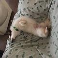 Photos: ソファーの登ってへそ天になって寝れるほどマイペースで肝っ玉もデカイ