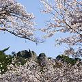 写真: 屏風岩と桜