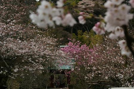 桜咲く参道2、光則寺!(100327)