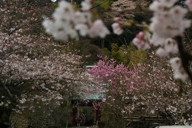 Photos: 桜咲く参道2、光則寺!(100327)