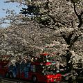 Photos: 桜花見をバスから!(100403)
