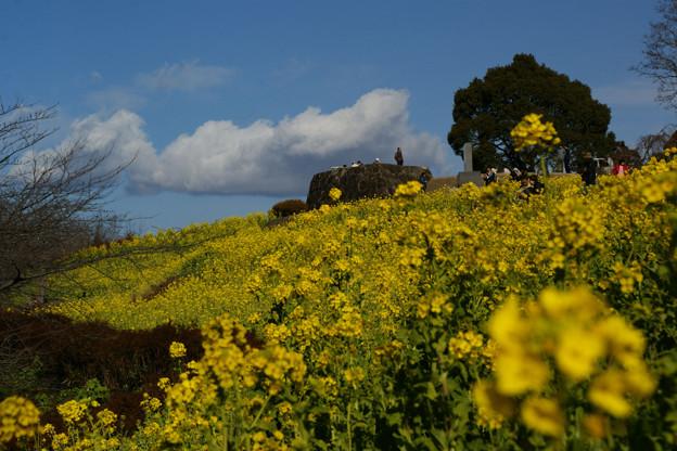 Photos: 初晴れに菜の花畑!(110102)