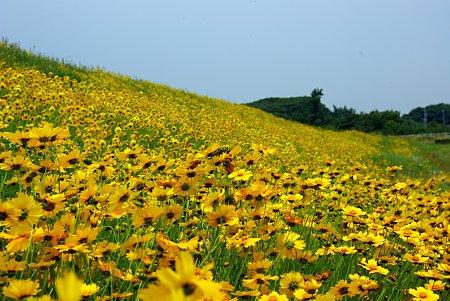 曇り空のお花畑