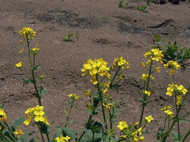 20100505-チンゲンサイの花