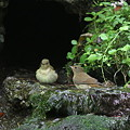 Photos: 100921-75キビタキ♀(左)とオオルリ♀
