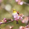 Photos: 110222-9河津桜とメジロ