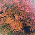 我が家の庭にも紅葉