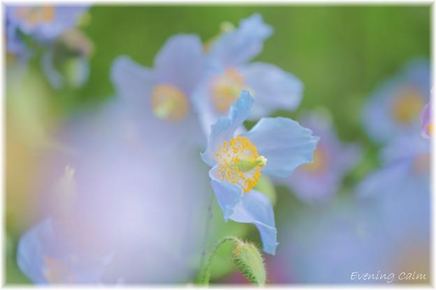 Photos: Blue Poppy_0007