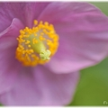 Photos: Blue Poppy_0015