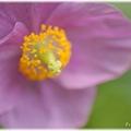 Blue Poppy_0015