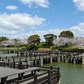 駕与丁公園の桜(5)