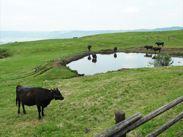 写真: 阿蘇の放牧風景(2)景色の良い所で美味しい草食べてます
