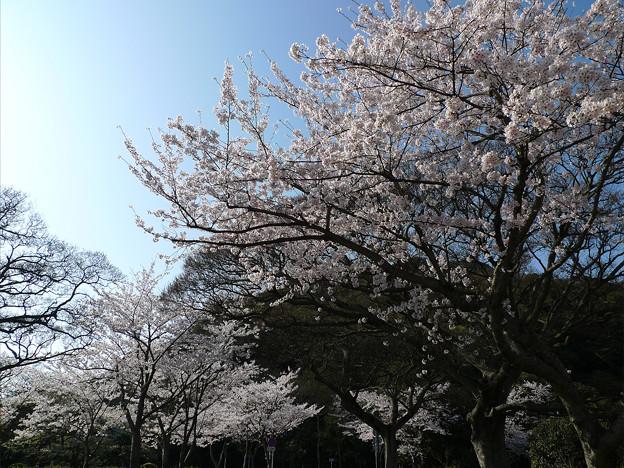 めかり公園の桜(3)