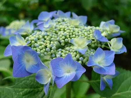 天拝山歴史自然公園の紫陽花(1)