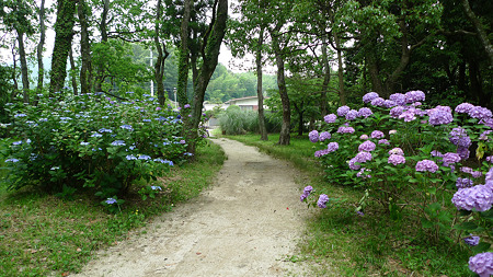 観世音寺(6)紫陽花