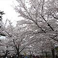 小倉城・勝山公園の桜(5)