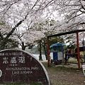 志高湖の桜(13)
