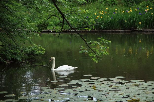 健民公園の白鳥