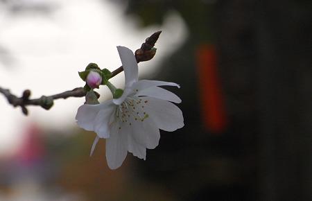 十月桜の公園