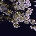 Photos: 日常桜