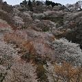 Photos: 桜滝