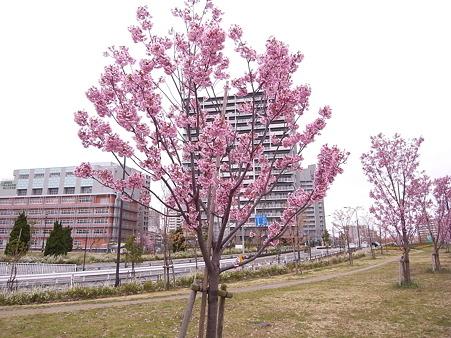 南千住 汐入公園の桜 2010-3-28 24