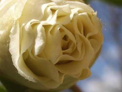 20060330白羽衣つぼみ